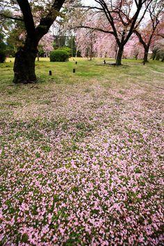 京都 元離宮二条城 清流園 散り桜 Japan,Kyoto,Nijo-ji Castle,cherry blossoms