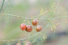 Asparagus seeds close up
