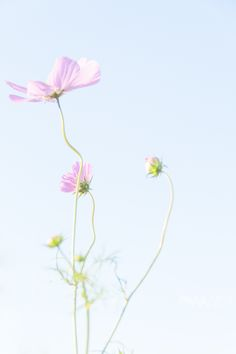 Pink Flowers - cosmos and the sky