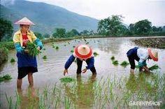China  Planting Rice