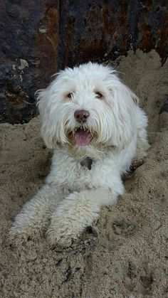 Pippin the Ttoodle after digging in the sand at Happisburgh beach
