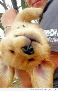 Golden Retriever puppy!!  Hello,   cutie!!