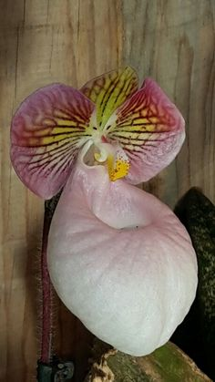 Paphiopedilum micrantum