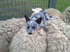 Felizmente la Siesta de Este Perro Guardian es lo Más Lindo http://www.sitioviral.com/felizmente-la-siesta-de-este-perro-guardian-es-lo-mas-lindo/