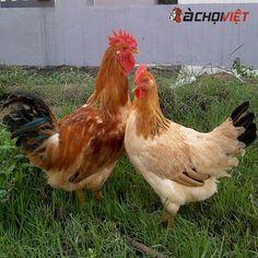 Gà Tàu Vàng – bí quyết nuôi năng suất khủng Kiến Thức Gà Chọi Rooster, Cherry, Prunus, Chicken
