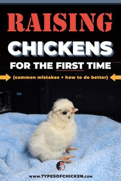 Raising Chickens for the First Time - Common Mistakes & How to do Better — Types of Chicken Types Of Chickens, Raising Backyard Chickens, Keeping Chickens, Urban Chickens, Pet Chickens, Silkie Chickens, Fresh Chicken, Building A Chicken Coop, Baby Chicks