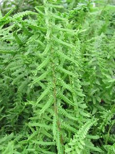 Athyrium filix-femina 'Victoriae':  The pinnae (leaflets) criss-cross up the frond and the tip of each frond is crested.  As the tip continues to lengthen all season, it starts to look more and more like fringe with each passing week.  The texture is so unique, it is bound to set itself apart from all of the other plants in your shade garden. This #fern forms an upright arching clump similar to the species. $150
