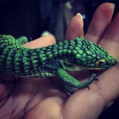 Our beautiful Mexican alligator lizard or Abronia lizard.