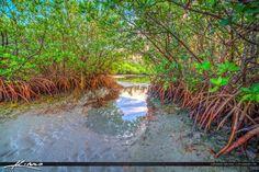 Mangrove Tree on Sandbar in Jupiter Florida
