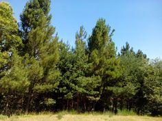 bebeteca. Carballos y pinos,La Torre,Orense.