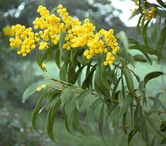 On 1 September 1988 Golden Wattle (Acacia pycnantha) was officially proclaimed as Australia's National Floral Emblem Australian Wildflowers, Australian Native Flowers, Australian Plants, Common Garden Plants, Australian Native Garden, Native Australians, Language Of Flowers, Australia Day, Trees And Shrubs