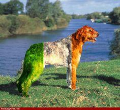 Irish Wolfhound hi-res pictures