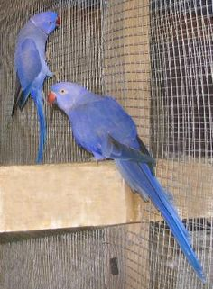 violet ringneck parakeets