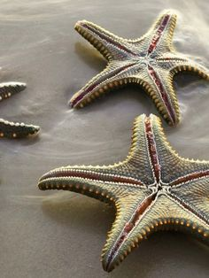 Starfish on the beach in Kenya, Africa