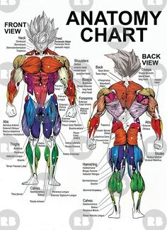"""""""Exercise Muscle Guide - Anatomy Chart - Super SS"""" Canvas Prints by gohanflex Fitness Workouts, Gym Workout Tips, Ab Workout At Home, Ab Workouts, Fitness Diet, Muscle Chart Anatomy, Body Anatomy, Anatomy Drawing, Human Muscle Anatomy"""