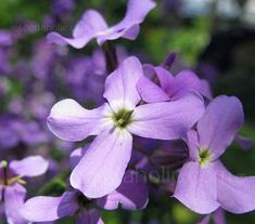 Night Scented Stock (Matthiola Bicornis) is one of the easiest and rewarding scented plants to grow.