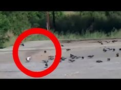 Flying ghost hunting pigeon real live footage!!! Rare footage | IndiaNewsToday