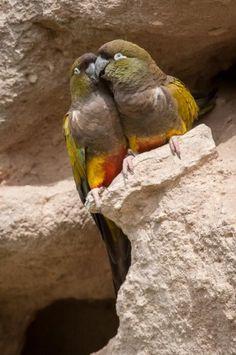 Pappagallo conuro della Patagonia - Burrowing parakeet - Cyanoliseus patagonus