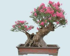 "See Miniature Crape Myrtles that have been transformed into striking Bonsai specimens. Our Patented Miniature Crape Myrtles have been called ""Instant Bonsai"" because of they have been bred to remain very small, with tiny leaves, flowers and beautiful bar Buy Bonsai Tree, Bonsai Tree Types, Mini Bonsai, Indoor Bonsai, Bonsai Plants, Bonsai Garden, Bonsai Trees, Plantas Bonsai, Mini Plants"
