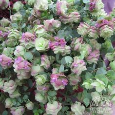 Origanum 'Kent Beauty' A very intriguing form of Oregano, this forms a low trailing mound of powdery blue-green foliage. Summer through fall it bears drooping heads of hop-like flowers in a blend of shrimp pink, green and cream. Terrific in containers, even as an annual in colder regions. Ideal for draping over walls or in the sunny rock garden. Prefers excellent drainage.  May well survive to Zone 5 or colder if soil are exceptionally well drained.
