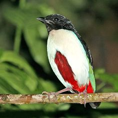The Ivory-breasted Pitta (Pitta maxima) is endemic to Indonesia.