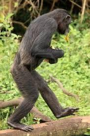 Google Image Result for http://us.123rf.com/400wm/400/400/imagex/imagex1006/imagex100601848/7211033-chimpanzee-sanctuary-game-reserve--ugand...