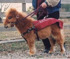 MINATURE HORSES AS EMOTIONAL SUPPORT ANIMAL