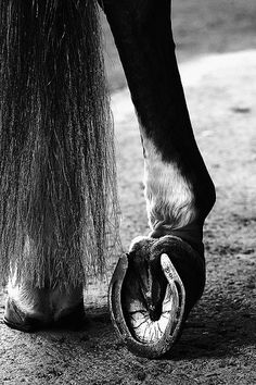 resting a fetlock. what a stunning shot. BW Horse Photography