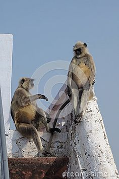 Photo about A funny portrait of two large grey langur monkeys sitting on the stairs chatting about life. One Langur is sitting like a human. Image of gentle, himalaya, indian - 69554872 A Funny, Monkeys, Stairs, Stock Photos, Portrait, Grey, Travel, Life, Image