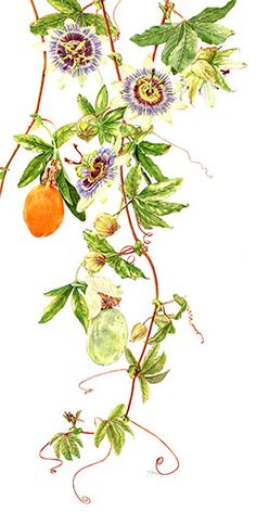 Passion Flower - Passiflora caerulea by Janie Pirie