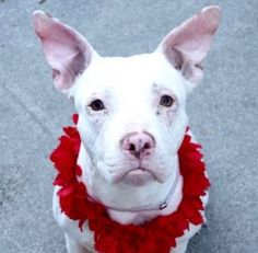 TO BE DESTROYED 01/09/17: ****PUBLICLY ADOPTABLE****  A volunteer writes: Zylah has the cutest pout.. and with those big ears and her contrite face, she reminds me of Eeyore...Zylah is with us for no fault of her own. Owned since the age of few weeks, Zylah, who comes with glowing comments, was relinquished to us as her masters could not afford her care anymore. Indeed, she suffers from some kind of dermatitis that will require veterinary care and mostly a proper diet. A spay will also…