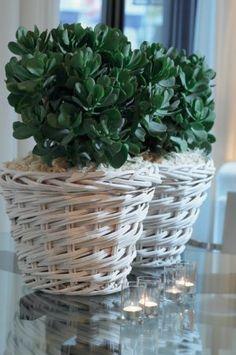 """La crassula """"ovata"""" plante symbolisant l'abondance en feng shui.      La crassula """"ovata"""" symbolise en Feng Shui l'abondance car ses fe..."""