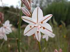 Asphodel Lilly - My regrets follow you to the grave...unending regrets. One of my favorite flowers
