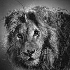Pencil Drawing Lion Art