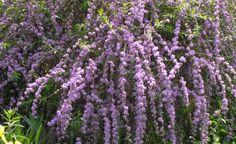 Wechselblättriger Sommerflieder (Buddleja alternifolia)