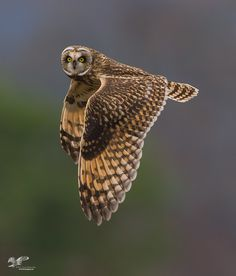 Estuary Short-Ear in Flight by stevelarge - My Best Shot Photo Contest Vol 3 Beautiful Owl, Animals Beautiful, Cute Animals, Cute Sloth, Cute Owl, Owl Wings, Short Eared Owl, Great Grey Owl, Owl Bird