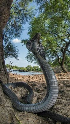 Good looking cobra Cool Snakes, Colorful Snakes, Beautiful Snakes, Animals Beautiful, Rare Animals, Animals And Pets, Snake Wallpaper, Snake Photos, Snake Art