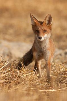 Red Fox by JMrocek - Jakub Mrocek on @deviantART**
