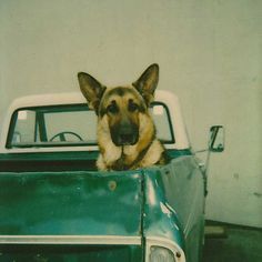 "German Shepard 12"" x 12"" Limited edition print from Project B"