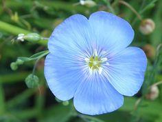 Flax Flower (Linum usitatissimum)