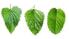 Risultati immagini per mint leaf