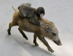 A baby monkey named Miwa hangs on to a baby boar named Uribo while they run around in the Fukuchiyama City Zoo, Kyoto  Picture: AFP/GETTY IMAGES