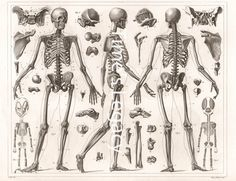 High quality 300 dpi digital image of an original vintage Human Anatomy illustration from 1850 showing bones of the human skeleton. For best results print on premium quality photo or matte paper. The Times Legacy watermark will not be on the downloaded image. Print as many times as you