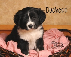 Duchess: Border Collie, Dog; Topeka, KS  I wish I could get another dog.... But spread the word that she needs adoption.