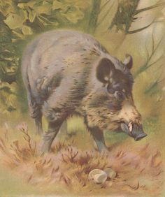 Razorback Wild Boar Wild Pig Hog Antique Wildlife Natural History Chromolithograph Art Print  1892 by AntiquePrintEmporium on Etsy https://www.etsy.com/listing/268182308/razorback-wild-boar-wild-pig-hog-antique