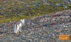 Cute Arctic Fox in Greenland