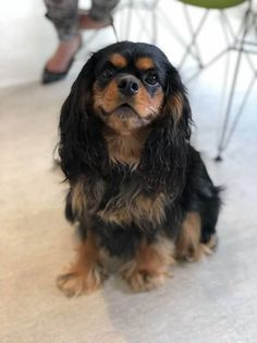 King Charles Puppy, Cavalier King Charles Dog, King Charles Spaniel, Spaniel Puppies, Corgi Puppies, Animals Beautiful, Cute Animals, Baby Animals, Funny Animals