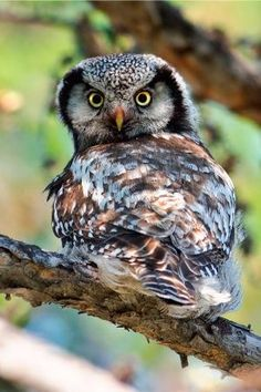 Northern Hawk Owl (Surnia ulula) by clare