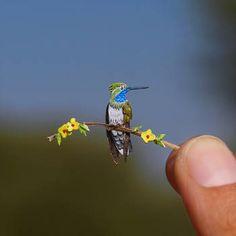 Blue Throated Hummingbird- Paper cut bird by NVillustration on DeviantArt Save Nature, Paper Birds, Paper Artwork, Hummingbird, Paper Cutting, Miniatures, Deviantart, World, Day