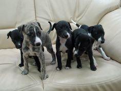 cute.           wippit puppys